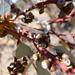 Eucalyptus cyanophylla - Photo (c) Wayne Martin, osa oikeuksista pidätetään (CC BY-NC)