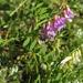 Vicia nervata - Photo (c) V.S. Volkotrub,  זכויות יוצרים חלקיות (CC BY-NC)