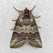Ceranemota - Photo (c) Jim Johnson, algunos derechos reservados (CC BY-NC-ND)