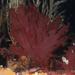 Metacallophyllis laciniata - Photo (c) Bernard Picton,  זכויות יוצרים חלקיות (CC BY)