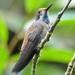 Colibri - Photo (c) Jerry Oldenettel,  זכויות יוצרים חלקיות (CC BY-NC-SA)