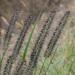 Pennisetum - Photo (c) tlit46, algunos derechos reservados (CC BY-NC)