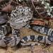 Pine Snake - Photo (c) jakescott, some rights reserved (CC BY-NC)