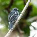Amazonian Antshrike - Photo (c) Nick Athanas, some rights reserved (CC BY-NC-SA)