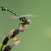 Common Clubtail - Photo (c) Liu JimFood, some rights reserved (CC BY-NC)