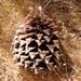 Pinus sabiniana - Photo (c) kqedquest, μερικά δικαιώματα διατηρούνται (CC BY-NC)