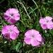 Dianthus alpinus - Photo (c) Stefan.lefnaer, algunos derechos reservados (CC BY-SA)
