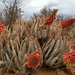 Aloe claviflora - Photo (c) Jana Beets-Tippett, algunos derechos reservados (CC BY-NC)