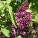 Lilacs - Photo (c) Maja Dumat, some rights reserved (CC BY)