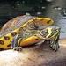 Tortuga Gravada - Photo (c) Linda De Volder, algunos derechos reservados (CC BY-NC-ND)