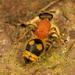 Wallacidia oculata - Photo (c) portioid, osa oikeuksista pidätetään (CC BY-SA)