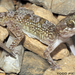 Persian Leaf-toed Gecko - Photo (c) 2011 Todd Pierson, some rights reserved (CC BY-NC)