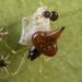 Chikunia nigra - Photo (c) portioid, μερικά δικαιώματα διατηρούνται (CC BY-SA)
