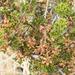 Purshia glandulosa - Photo (c) Bill Gray, algunos derechos reservados (CC BY-NC)