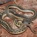 Tropical Black-necked Garter Snake - Photo (c) Esaú Valdenegro-Brito, some rights reserved (CC BY-NC-SA)