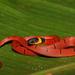 Culebra de Cafetal Espalda Roja - Photo (c) Esaú Valdenegro-Brito, algunos derechos reservados (CC BY-NC-SA)