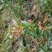 Berberis nantoensis - Photo (c) Cheng Te Hsu,  זכויות יוצרים חלקיות (CC BY-SA)