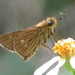 Obscure Skipper - Photo (c) Roger Rittmaster, some rights reserved (CC BY-NC)