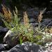 Romaza de California - Photo (c) 2009 Keir Morse, algunos derechos reservados (CC BY-NC-SA)