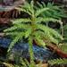 Leucolepis acanthoneura - Photo (c) Ken-ichi Ueda, algunos derechos reservados (CC BY)