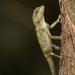 Diploderma swinhonis - Photo (c) Liu JimFood, algunos derechos reservados (CC BY-NC)