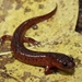 Eastern Mud Salamander - Photo (c) Justin Lee, some rights reserved (CC BY-NC)