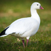Ross's Goose - Photo (c) Andrew Cannizzaro, some rights reserved (CC BY)
