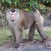 Macaca leonina - Photo (c) seasav, μερικά δικαιώματα διατηρούνται (CC BY-NC-ND)
