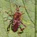 Sugador-de-Pinhas - Photo (c) Wildlife in a Dorset garden., alguns direitos reservados (CC BY-NC-SA)