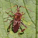 Western Conifer Seed Bug - Photo (c) Wildlife in a Dorset garden., some rights reserved (CC BY-NC-SA)