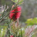 Melaleuca linearis - Photo (c) jcorrie, algunos derechos reservados (CC BY-NC)