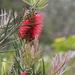 Melaleuca linearis - Photo (c) jcorrie, μερικά δικαιώματα διατηρούνται (CC BY-NC)