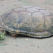 Durango Mud Turtle - Photo (c) llimy, some rights reserved (CC BY-NC)