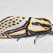 Hieroglyphic Moth - Photo (c) Christian Schwarz, some rights reserved (CC BY-NC)