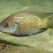 Mozambique Tilapia - Photo (c) Christian Schwarz, some rights reserved (CC BY-NC)
