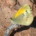Mariposa Azufre Natalia - Photo (c) ibaline, algunos derechos reservados (CC BY-NC)
