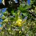 Ribes quercetorum - Photo (c) randomtruth,  זכויות יוצרים חלקיות (CC BY-NC-SA)