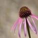 Pale Purple Coneflower - Photo (c) Joseph Kurtz, some rights reserved (CC BY-NC)