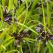 Cyperus fuscus - Photo (c) User:Fice, μερικά δικαιώματα διατηρούνται (CC BY-SA)