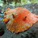 Platydoris argo - Photo (c) gianfrs, algunos derechos reservados (CC BY-NC-ND)