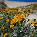 Amsinckia vernicosa furcata - Photo (c) Belinda Lo, algunos derechos reservados (CC BY-NC-SA)