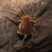Acanthopachylus aculeatus - Photo (c) Lucas Ezequiel Rubio, algunos derechos reservados (CC BY)