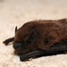 Common Pipistrelle - Photo (c) Gilles San Martin, some rights reserved (CC BY-SA)
