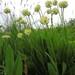 Allium victorialis - Photo (c) Apollonio Tottoli, algunos derechos reservados (CC BY-NC-ND)