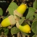 Quercus rotundifolia - Photo (c) Valter Jacinto | Portugal, osa oikeuksista pidätetään (CC BY-NC-SA)