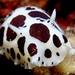 Vaquita Suiza - Photo (c) gianfrs, algunos derechos reservados (CC BY-NC-ND)