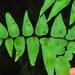 Cheilanthes viridis - Photo (c) Linda Loffler, algunos derechos reservados (CC BY-NC)