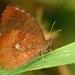 Godartiana muscosa - Photo (c) Douglas Eduardo Rocha, algunos derechos reservados (CC BY-NC-ND)