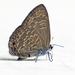 Anthene emolus - Photo (c) Vijay Anand Ismavel, algunos derechos reservados (CC BY-NC-SA)