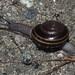 Helminthoglypta sequoicola - Photo (c) J. Maughn, algunos derechos reservados (CC BY-NC)